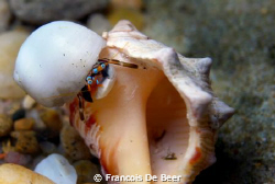 Hermit crab at Sodwana Bay Souh Africa by Francois De Beer 